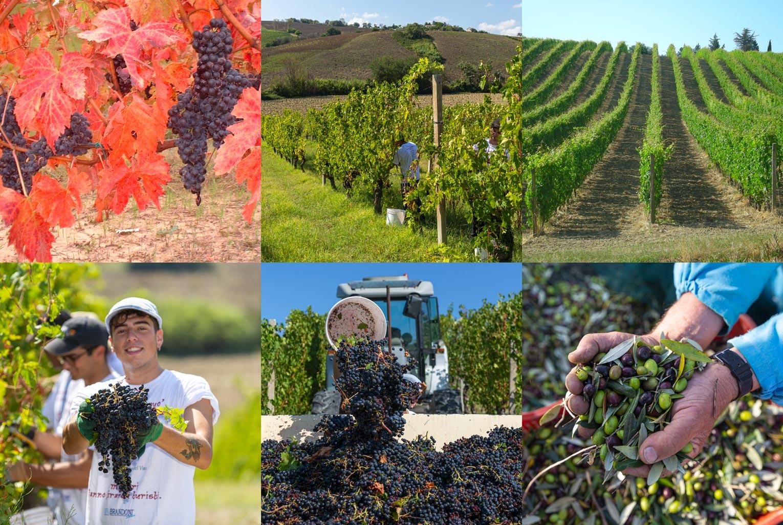 Mancinelli Vini - Passione per il territorio - Morro d'Alba