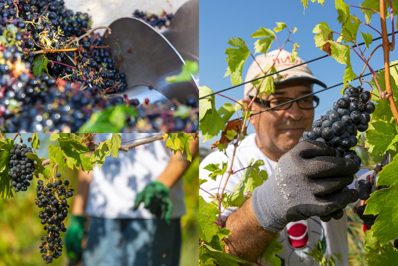 Mancinelli Vini - Passione per il territorio