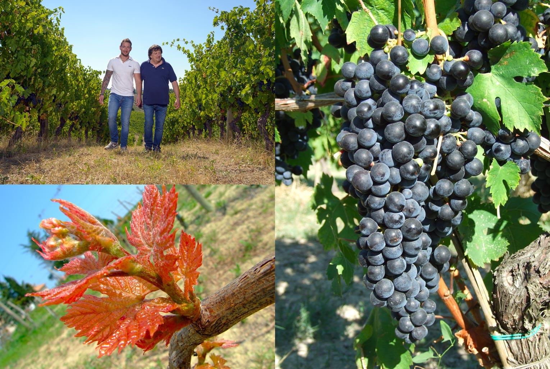 Mancinelli Vini - Passione per il territorio - Morro d'Alba - Vigna